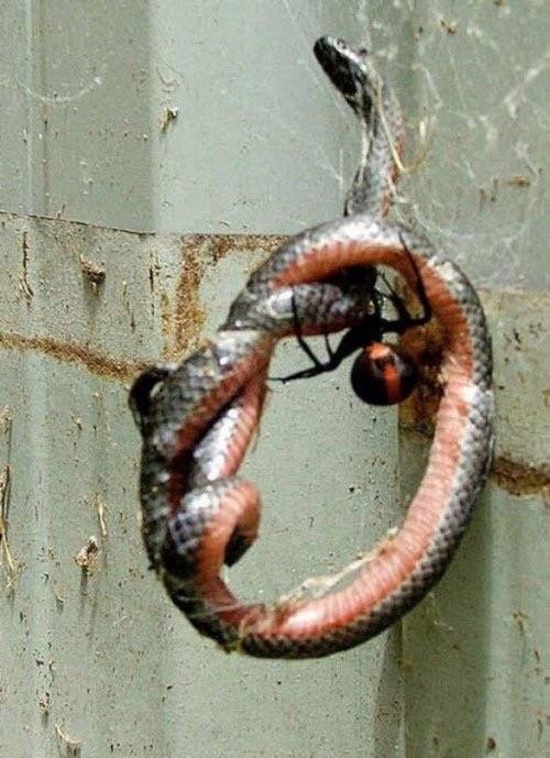 ağında yılan tutan örümcek görmemiştim