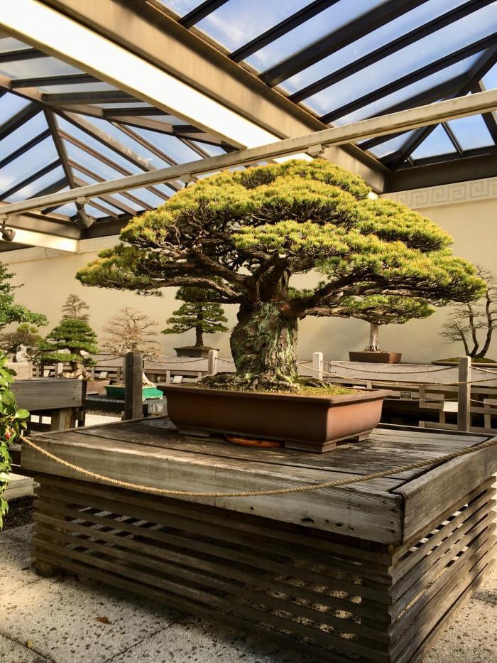 hiroşima'da ki patlamadan  sağ kurtulan 400 yaşındaki bonsai