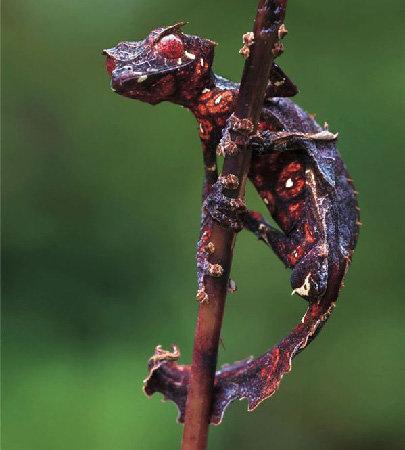 ejderhanın torunlarından siyah kırmızı mutasyonlu bir gecko