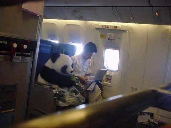 çin'den japonya'ya, kafeste değil bakıcısının yanında, emniyet kemeri takılı, bambusuyla yolculuk eden panda.