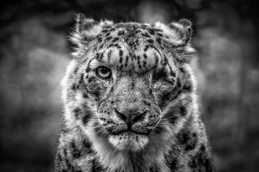 tek gözü ile karizmasından zerre kaybetmeyen kar leoparı
