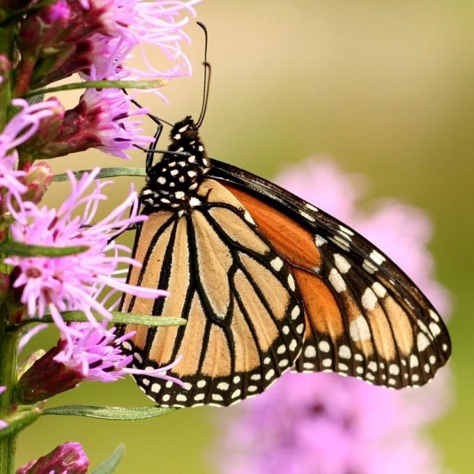 görünüş aldatıcı olabiliyor. kral naibi kelebeği...