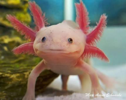 çok yüksek rejenerasyon yeteneğine sahip sevimli canlı: axolotl