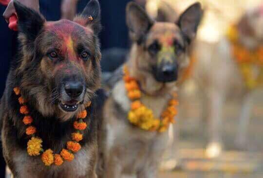nepal de köpeklere teşekkür festivali