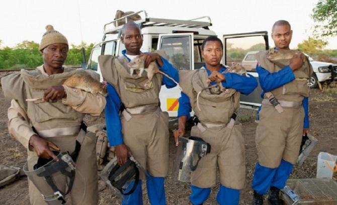 afrika nın mayın bulan kahraman fareleri